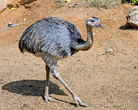8 nandu驼鸟 免版税库存照片