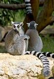 8 ogoniaści lemurów ringowych Fotografia Stock