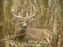 8 Point Buck Bedded Stock Photos