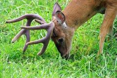 8 point Buck white tail deer. White tail deer, 8 point buck grazing in Cades Cove TN. Antlers in full velvet Stock Photos
