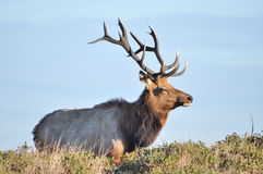 8 point Bull Elk Stock Photos