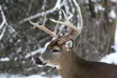 8 Point Rack Whitetail Buck in the snow. Close-up head shot of a whitetail buck deer with an 8 point rack, standing in the woods on a winter day Stock Photo