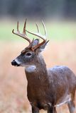 8 point whitetail buck Royalty Free Stock Image