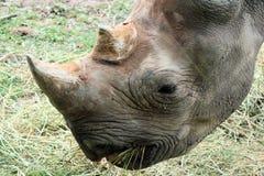 8 rhinocerous 免版税库存照片