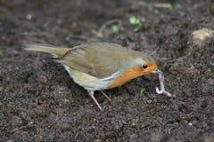 8 Robin στοκ φωτογραφίες με δικαίωμα ελεύθερης χρήσης