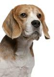 8 täta gammala övre år för beagle Arkivfoton