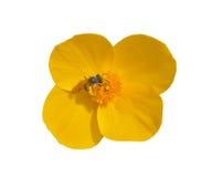 8 vernalis hylomecon цветка Стоковые Изображения RF
