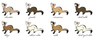 8 verschiedene Frettchen-Mäntel Stockbild