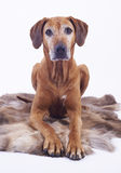 8 years old rhodesian ridgeback female dog Royalty Free Stock Photos