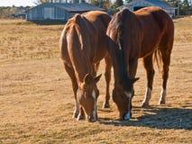8505 hästar två Arkivfoto