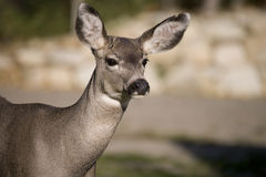 89头接近的鹿 免版税库存照片