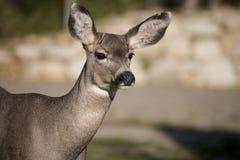 89 ciervos se cierran para arriba Foto de archivo libre de regalías