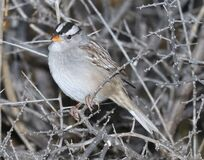 897 - WHITE-CROWNED SPARROW (12-11-2016) patagonia lake, santa cruz co, az -01 Royalty Free Stock Photos