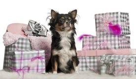 9个奇瓦瓦狗圣诞节月坐 免版税图库摄影