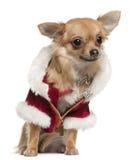 9个奇瓦瓦狗外套月圣诞老人开会 免版税库存图片