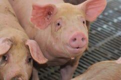 9个种田的猪系列 免版税库存图片