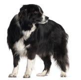 9博德牧羊犬老常设年 图库摄影
