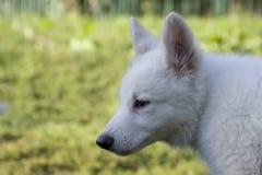9只狗绵羊瑞士白色 库存照片