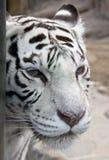 9只老虎白色 免版税图库摄影