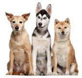 9品种狗inu混杂的老shiba年 图库摄影