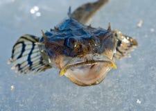 9小的鸡鱼科的小鱼 免版税库存照片