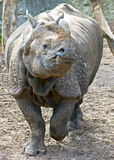 9极大的印第安犀牛 免版税库存照片
