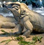 9盐腌的鬣鳞蜥 库存图片