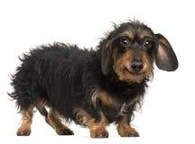 9达克斯猎犬老常设年 免版税库存图片