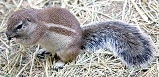 9非洲地松鼠 免版税库存图片