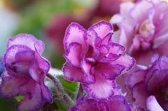 9非洲紫罗兰 库存图片