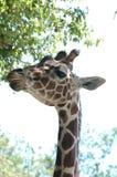 9 żyrafa zdjęcia stock