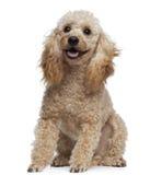 9 παλαιά poodle έτη συνεδρίασης Στοκ Εικόνες