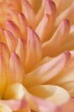 9 ροζ σειρές χρυσάνθεμων Στοκ Εικόνες