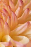 9 серий хризантемы розоватых Стоковые Изображения