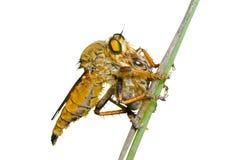 9 asilidae komarnica Zdjęcie Stock