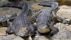 9 australijczyka krokodyl Fotografia Stock