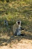 9 błękit małpi samango Zdjęcia Stock