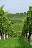 9 baden холмистый виноградник Стоковое Изображение RF