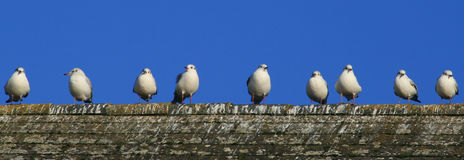 9 birds in a row. Seagulls in a row on the top of the roaf royalty free stock image
