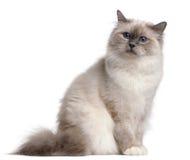 9 birman месяцев кота старых Стоковое Изображение