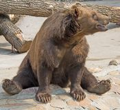 9 brown bear obraz stock