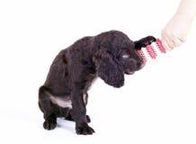 9 för valpwachtel för hund tyska gammala veckor Royaltyfri Bild