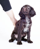 9 för valpwachtel för hund tyska gammala veckor Royaltyfri Fotografi