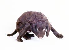 9 för valpwachtel för hund tyska gammala veckor Arkivfoton