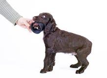 9 för valpwachtel för hund tyska gammala veckor Royaltyfri Foto