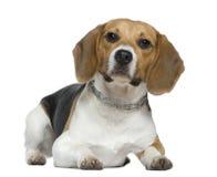 9 gammala liggande månader för beagle Arkivbild