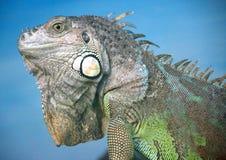 9 iguana Obrazy Stock