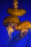 9 jellyfish Στοκ εικόνες με δικαίωμα ελεύθερης χρήσης
