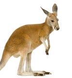 9 jeunes rouges de rufus de mois de macropus de kangourou Photographie stock libre de droits