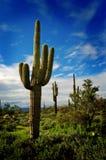 9 kaktusów saguaro Zdjęcia Royalty Free